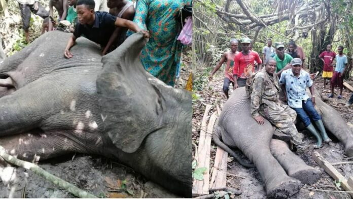 Local hunters kill 4th elephant in 2 years in Ogun state(photos)